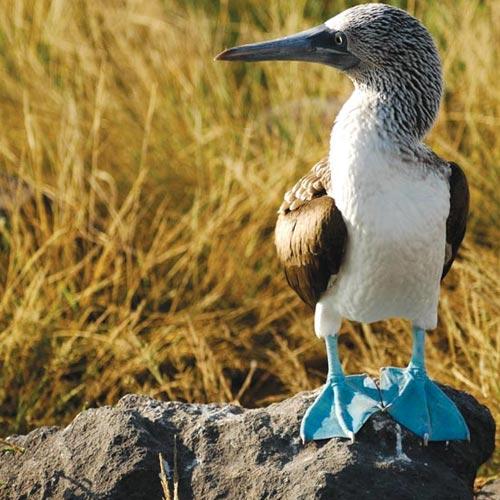 Galapagos Boat Cruises blue footed booby